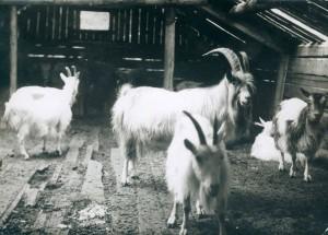 5. Heitømtet geiter ca 1939